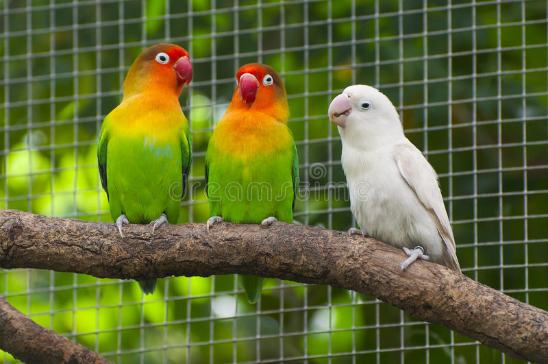 Três pássaros dos lovebirds em uma filial foto de stock