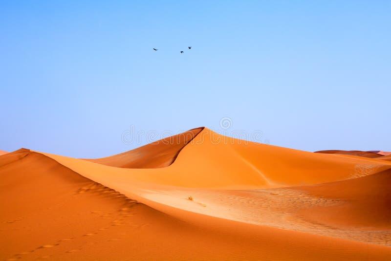 Três pássaros que voam sobre dunas alaranjadas arenosas no céu claro azul no deserto de Namib fotos de stock
