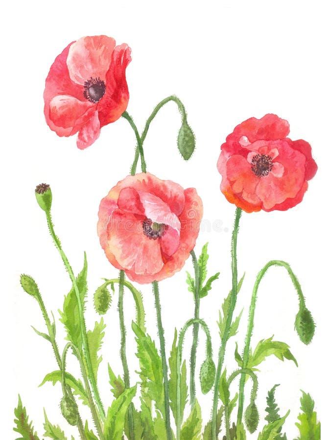 Três papoilas de jardim na aquarela Composição do flo do vermelho do campo ilustração do vetor