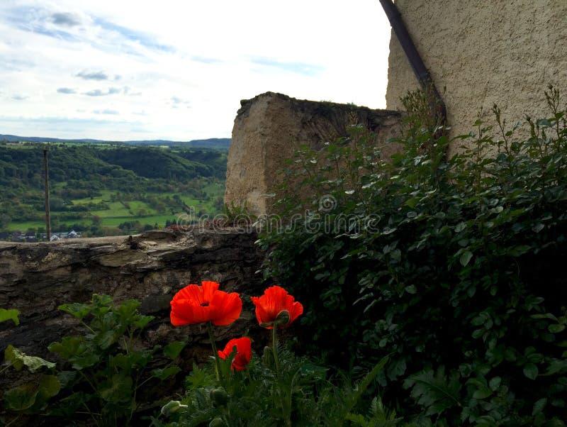 Três papoilas vermelhas na flor ao lado de uma parede de pedra velha imagem de stock