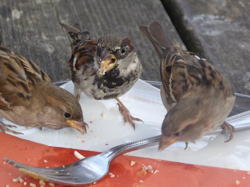 Três pardais que alimentam fora da esquerda sobre sucatas na placa fotografia de stock royalty free