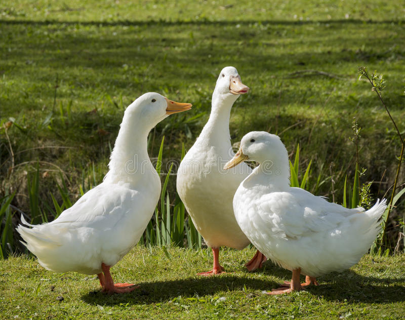 Três patos brancos imagem de stock royalty free