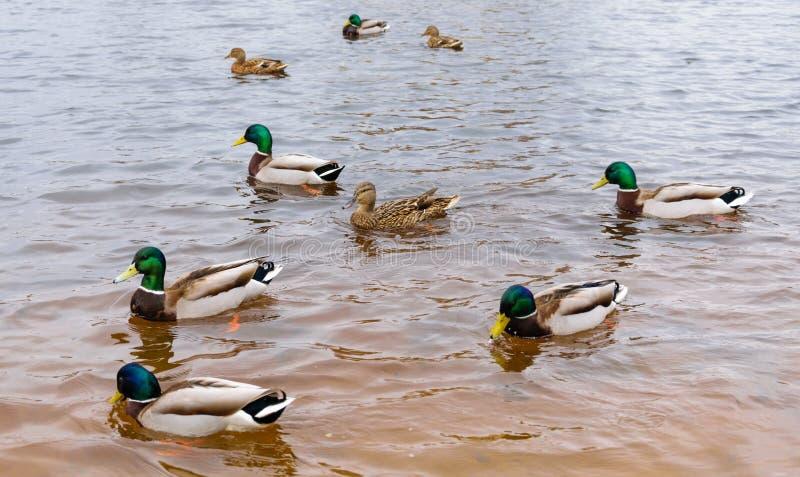 Três patos e seis patos nadam na água clara foto de stock royalty free