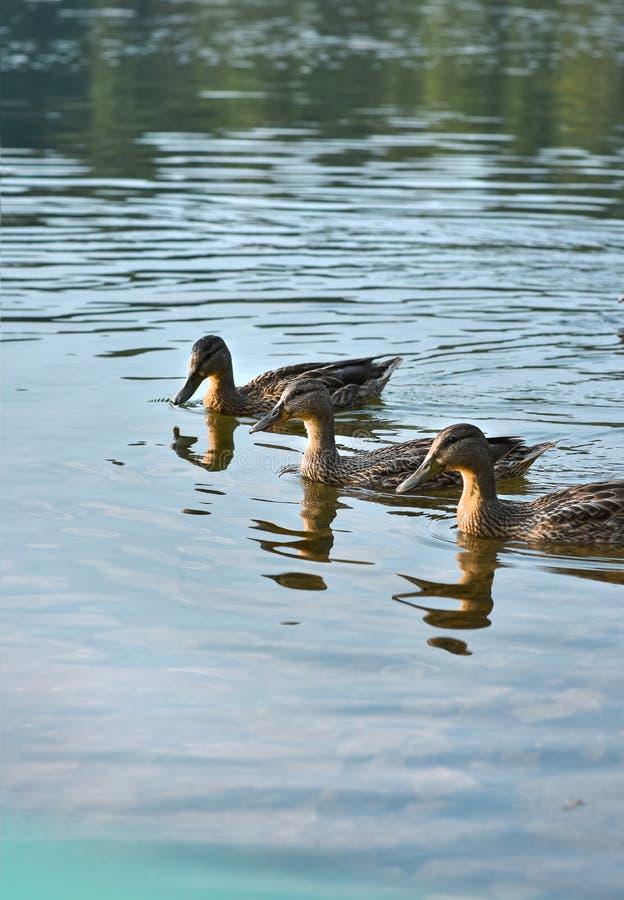 Três patos selvagens do pato selvagem nadam perto da costa do lago imagem de stock