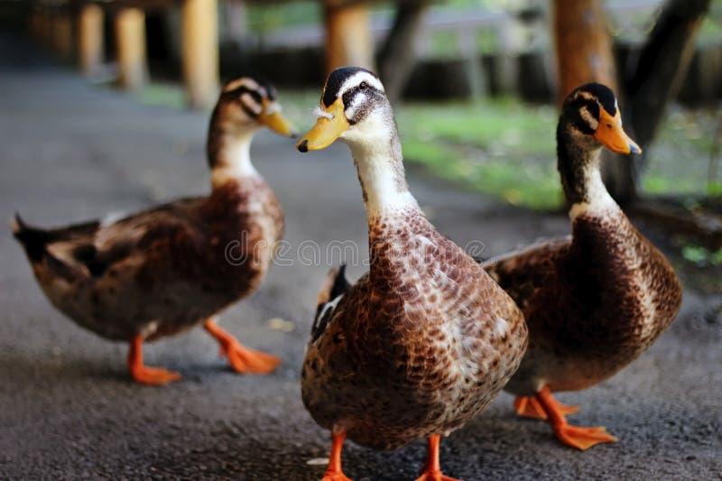 Três patos selvagens que andam no asfalto no jardim zoológico imagem de stock