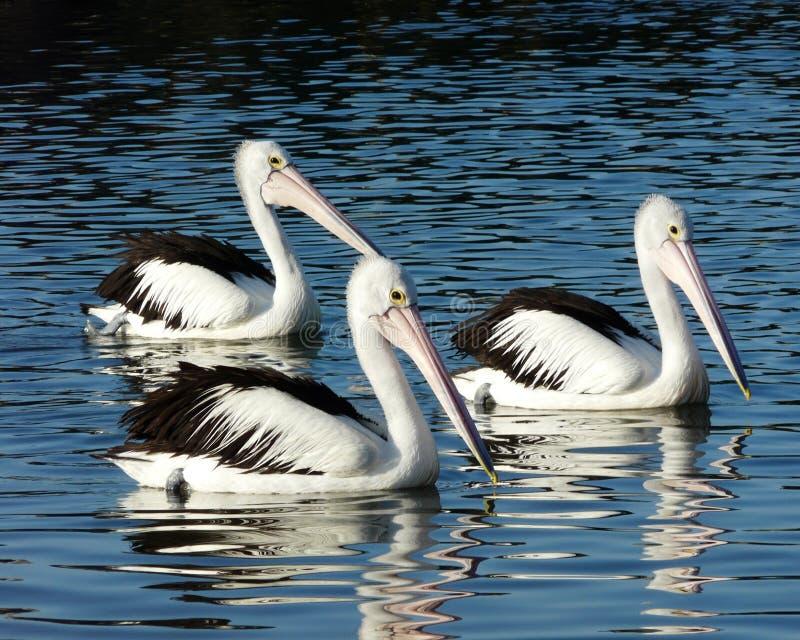 Três pelicanos imagens de stock