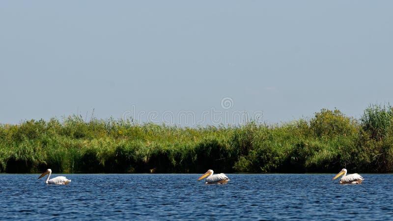 Três pelicanos imagem de stock