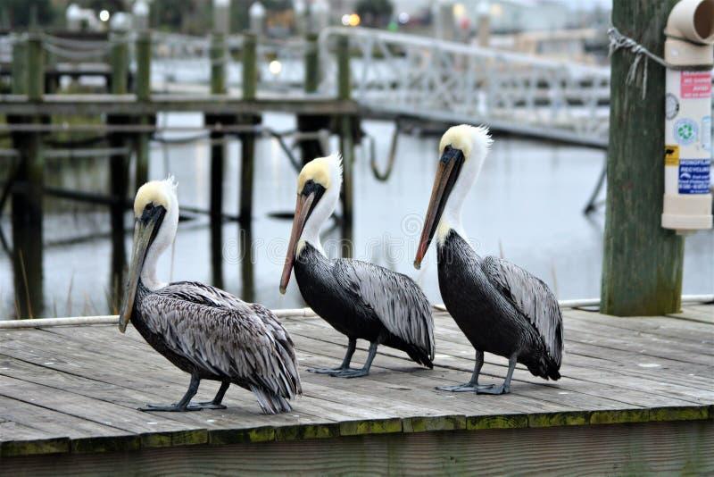 Três pelicanos formam uma legião apenas fora de uma loja da isca do porto fotos de stock royalty free