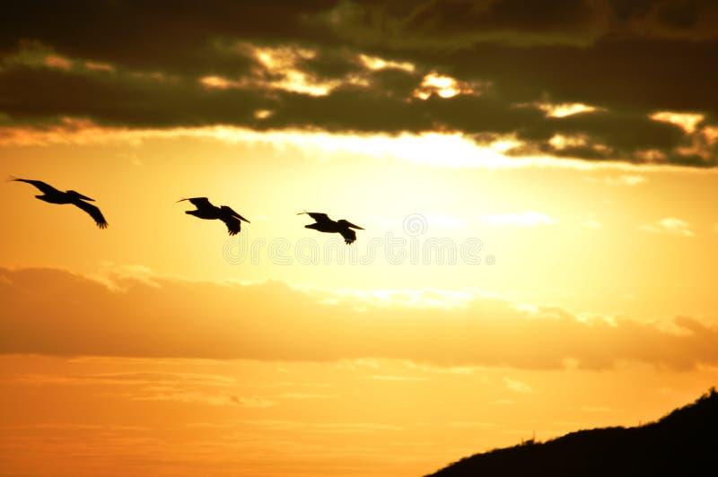 Três pelicanos no nascer do sol Bahia Concepcion, Baja California, México imagens de stock royalty free