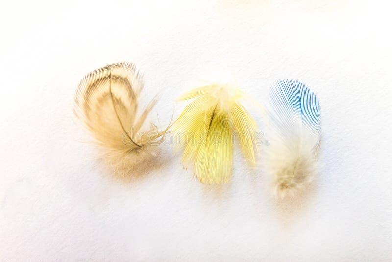 Três penas coloridas do budgie home em um fundo brilhante foto de stock