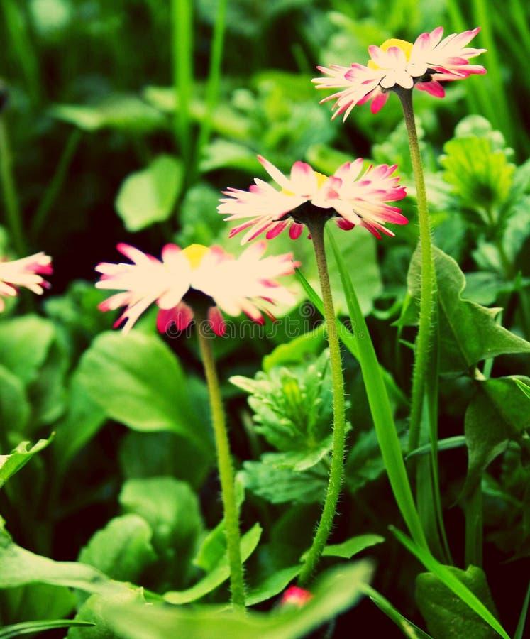 Três pequenos florescem ou são ele quatro imagem de stock