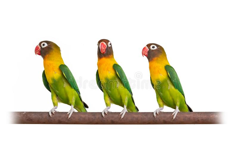 Três periquitos Amarelo-colocados um colar que empoleiram-se na barra de ferro isolada no fundo branco fotos de stock