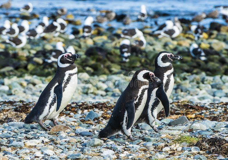 Três pinguins de Magellanic na ilha de Magdalena no Chile foto de stock royalty free