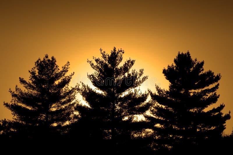 Três pinhos e um por do sol fotografia de stock royalty free