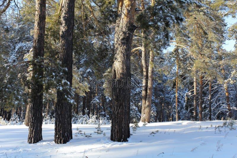 Três pinhos na floresta imagem de stock royalty free