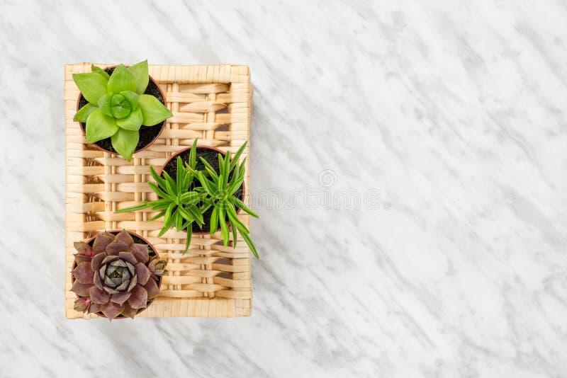 Três plantas suculentos pequenas no fundo de mármore foto de stock royalty free