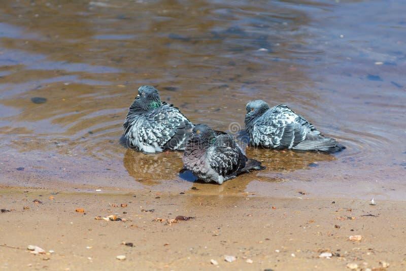 Três pombas na água fotos de stock royalty free