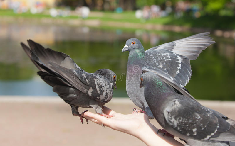 Três pombos fotos de stock