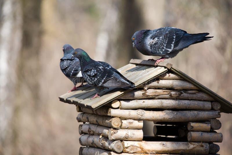 Três pombos imagem de stock royalty free
