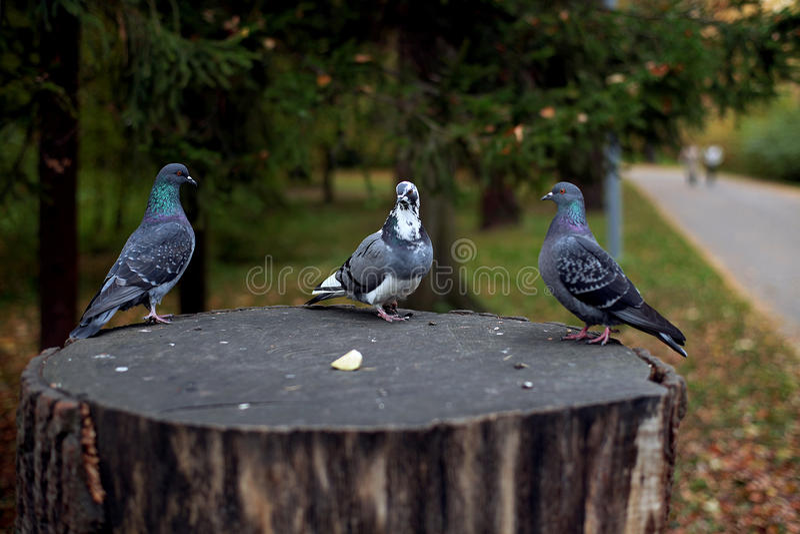 Três pombos fotografia de stock royalty free
