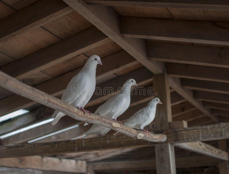 Três pombos brancos fotos de stock