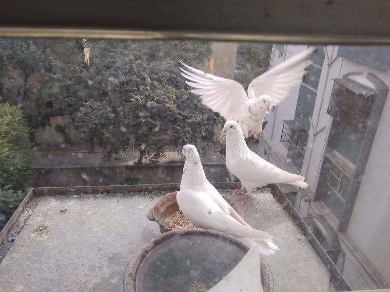 Três pombos brancos em meu lugar, foto de stock royalty free
