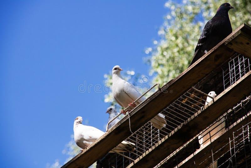 Tr?s pombos brancos sentam-se em uma placa de madeira em um fundo do c?u azul fotografia de stock royalty free