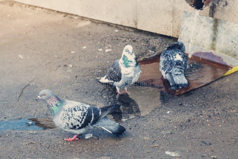 Três pombos cinzentos foto de stock