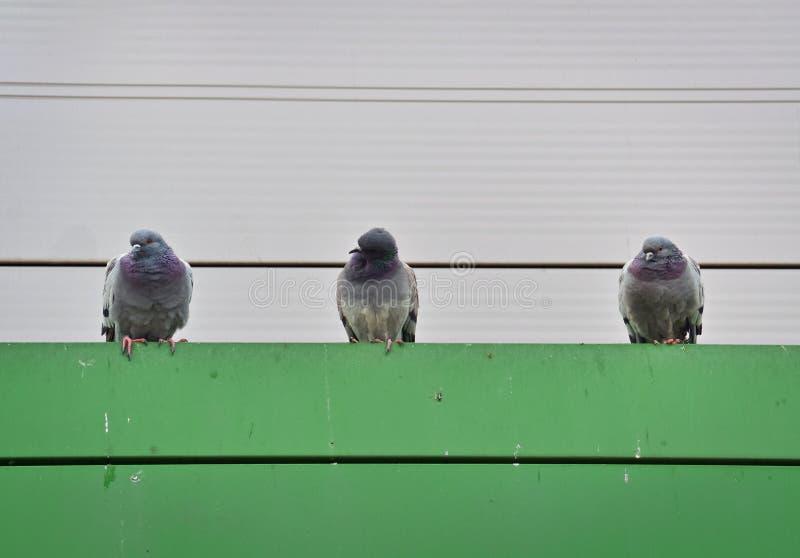 Três pombos cinzentos imagens de stock