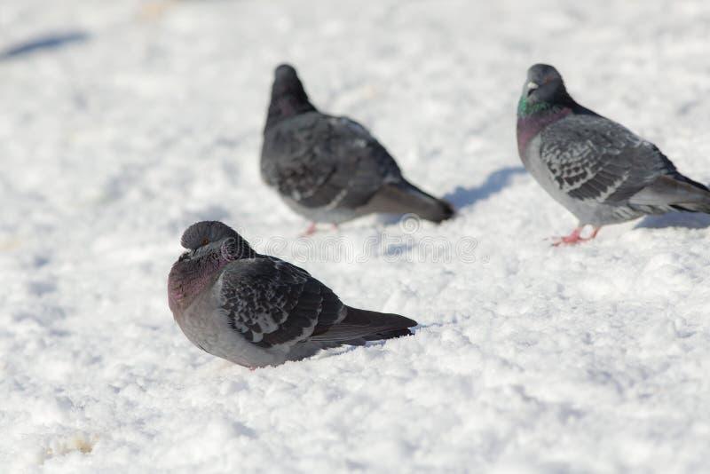 Três pombos cinzentos fotos de stock royalty free