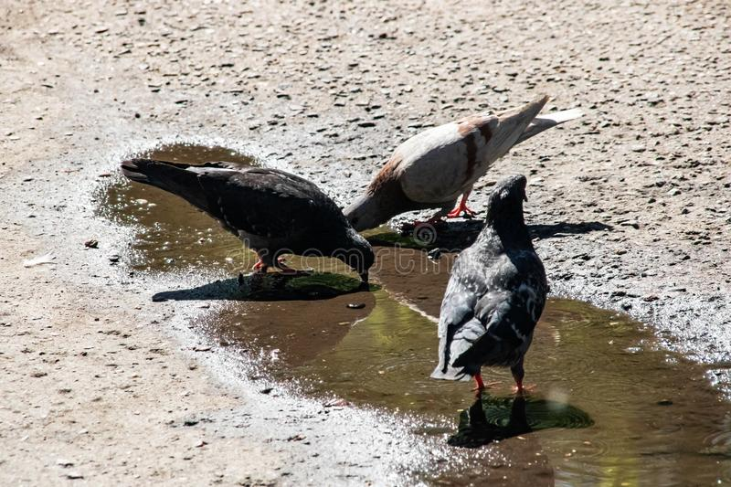 Três pombos cinzentos bebem a água em uma poça no passeio fotos de stock royalty free