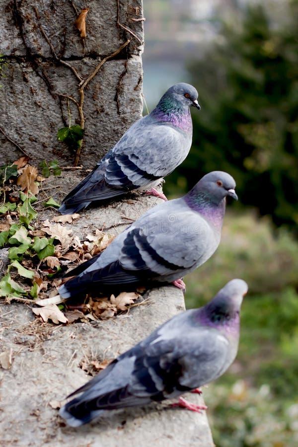 Três pombos cinzentos no monte. foto de stock
