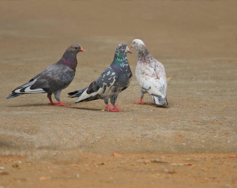 Três pombos de cores diferentes fotografia de stock