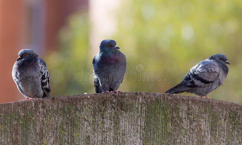 Três pombos em uma pedra imagem de stock