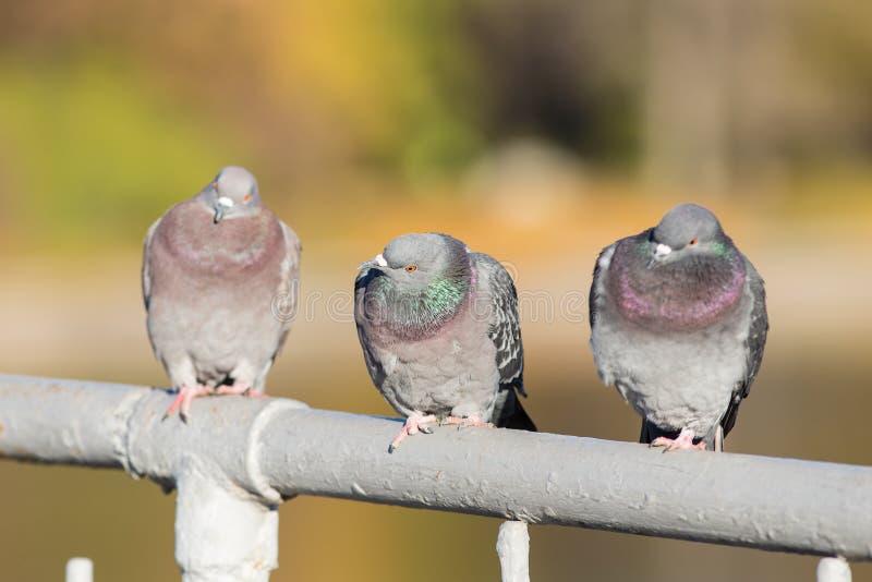 Três pombos fecham-se acima imagem de stock