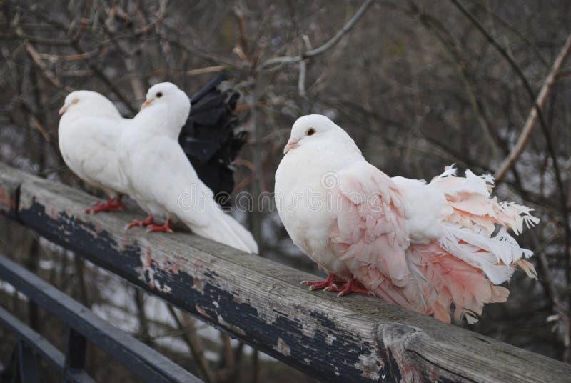 Três pombos na primavera no parque que senta-se na cerca fotos de stock royalty free