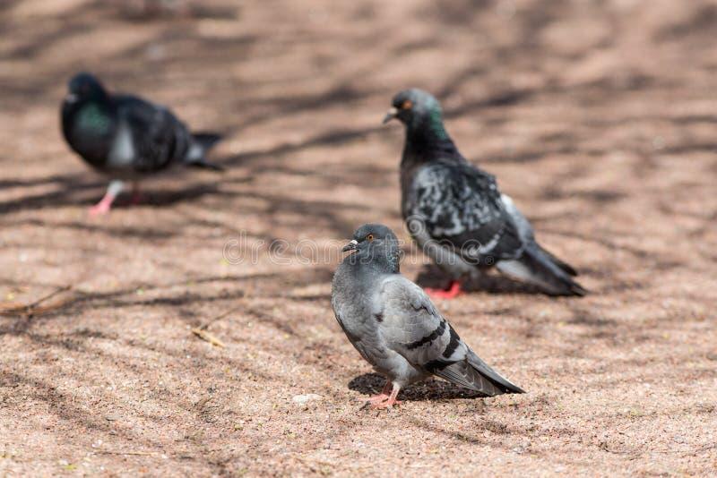 Três pombos na terra fotos de stock