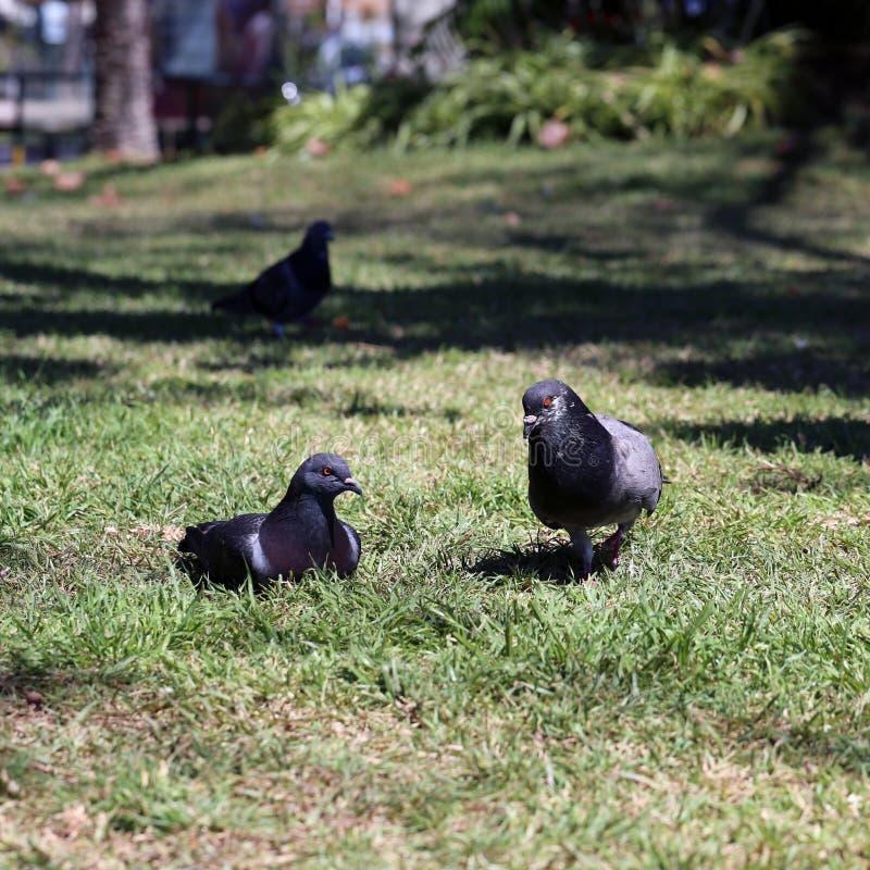 Três pombos pretos em um prado em Madeira foto de stock royalty free