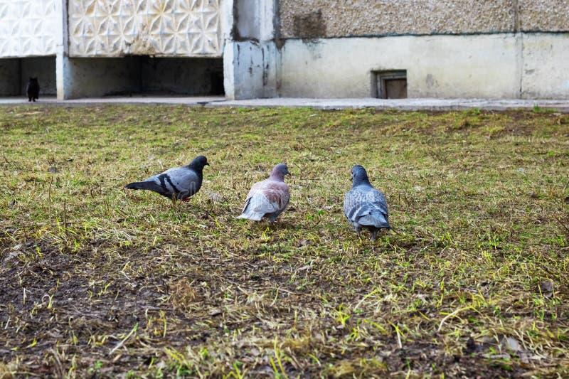 Três pombos que sentam-se no fim da grama acima imagens de stock royalty free