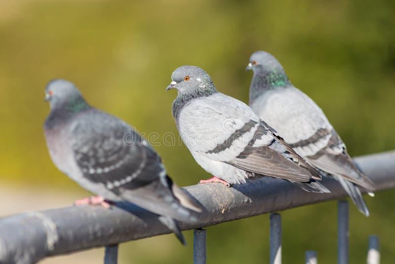 Três pombos que sentam-se nos trilhos fotografia de stock royalty free