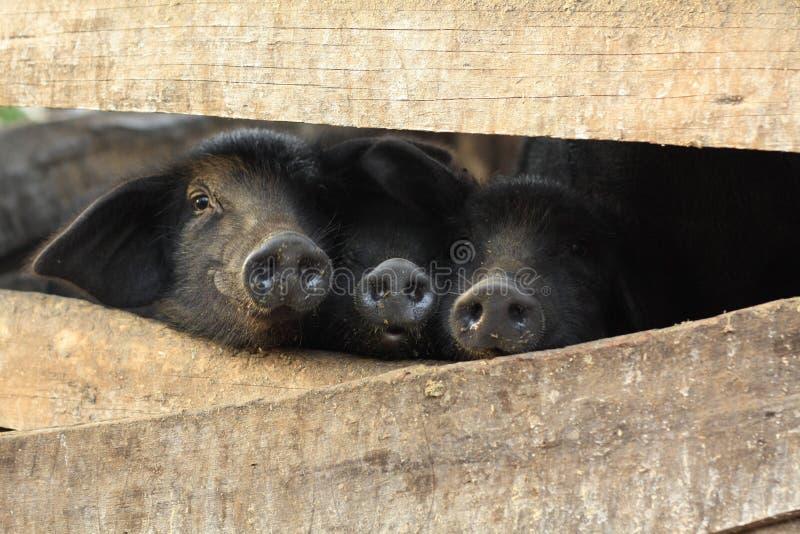 Três porcos pretos pequenos em uma pena foto de stock
