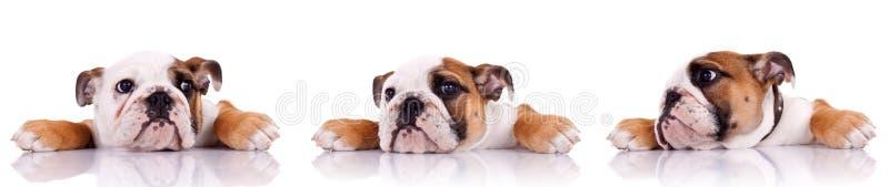 Três poses de um filhote de cachorro inglês do buldogue fotos de stock royalty free