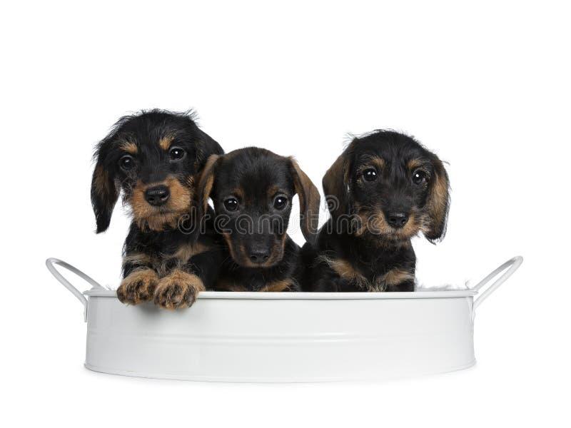 Três pretos com cachorrinhos do cão do bassê do wirehair adorável marrom os mini, isolados no fundo branco imagens de stock royalty free