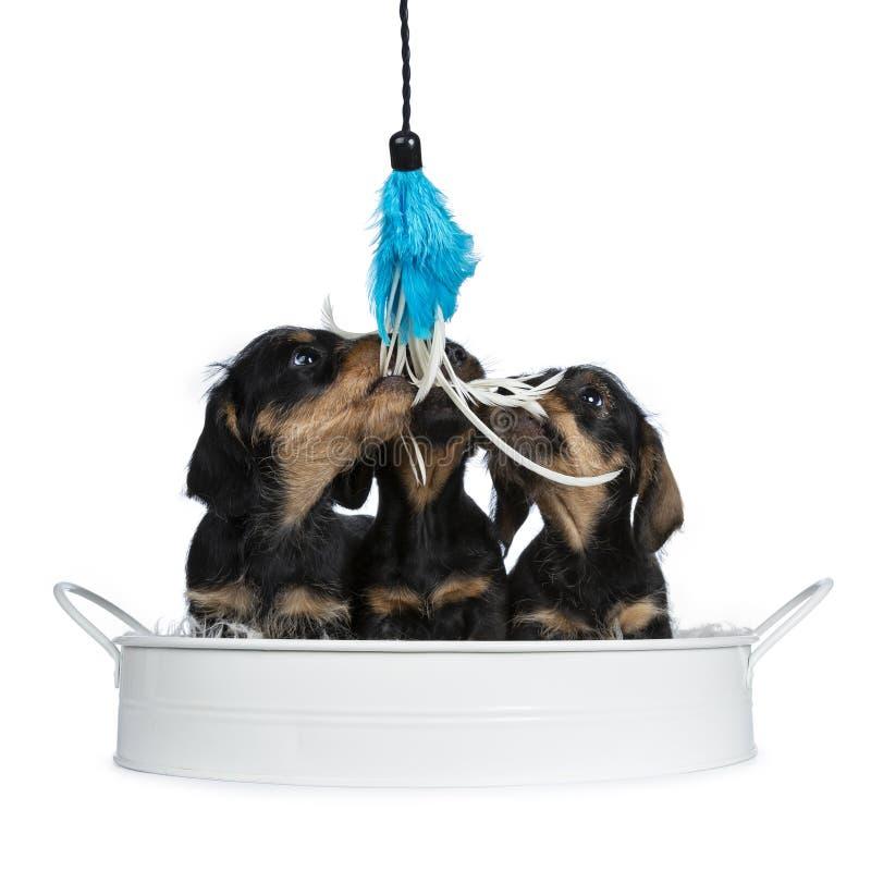 Três pretos com cachorrinhos do cão do bassê do wirehair adorável marrom os mini, isolados no fundo branco fotos de stock