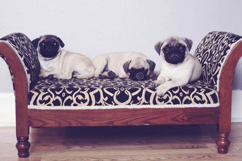 Três pugs no upclose do sofá imagens de stock royalty free