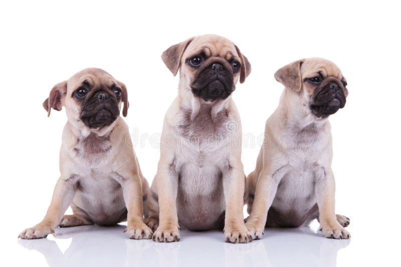 Três pugs tristes adoráveis que olham para tomar partido ao sentar-se imagens de stock