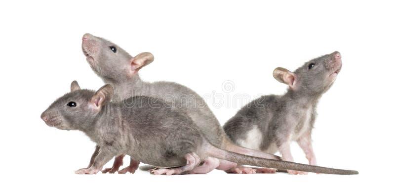 Três ratos calvos novos, isolados fotografia de stock