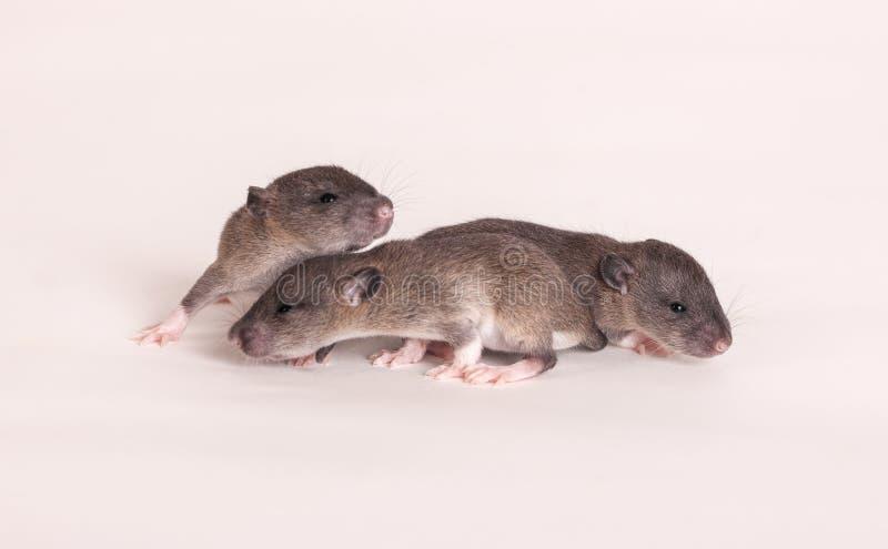 Três ratos do bebê imagens de stock royalty free