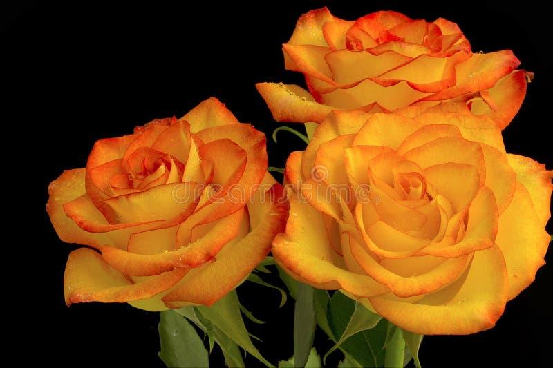 Três rosas imagens de stock