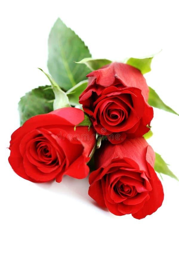 Três rosas imagem de stock